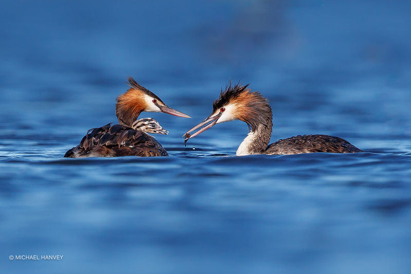 Great Crested Grebes (Podiceps cristatus)