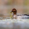 Australian Wood Duck (Chenonetta jubata)