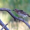 Spotted Bowerbird (Ptilonorhynchus maculatus)