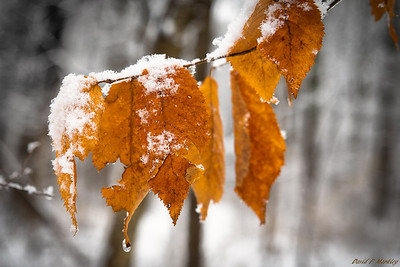 Icy Leaves