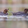 Musk Ducks (Biziura lobata)