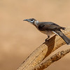 Little Friarbird (Philemon citreogularis)