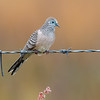 Peaceful Dove (Geopelia striata)