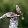 Immature Regent Bowerbird (Sericulus chrysocephalus)