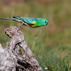 Red-rumped Parrot Launch
