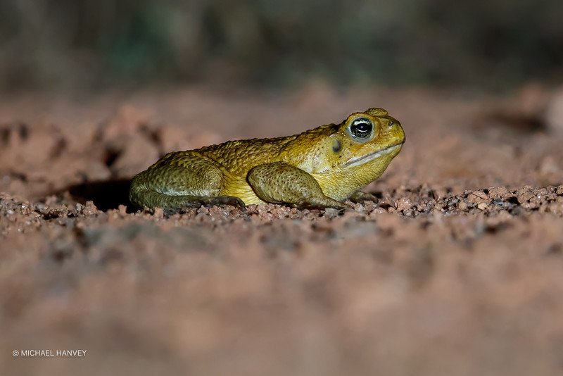 Cane Toad (Rhinella marina)