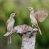 Female Regent Bowerbirds (Sericulus chrysocephalus)