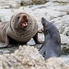 New Zealand Fur Seals (Arctocephalus fosteri)