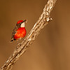 Crimson Chat (Epithianura tricolor)