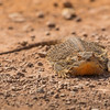Central Bearded Dragon (Pogna vitticeps)