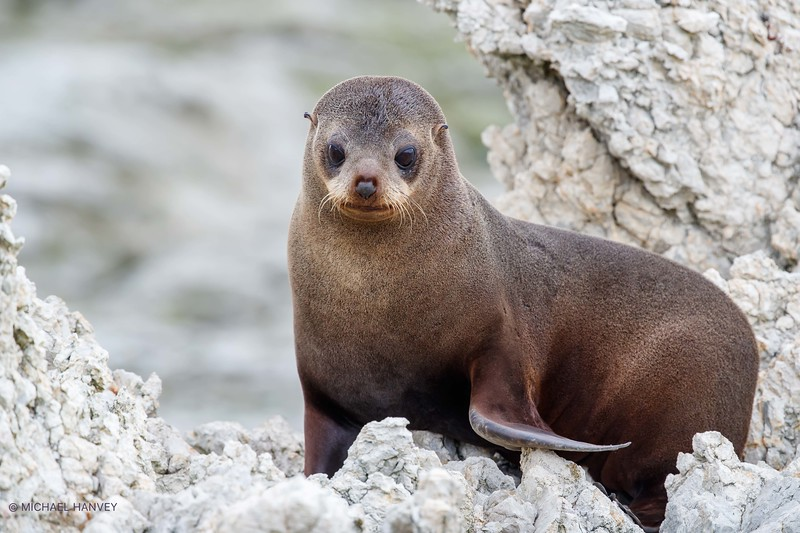 New Zealand Fur Seal (Arctocephalus fosteri)