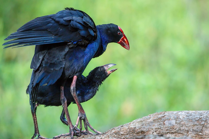 Purple Swamphen and Chick
