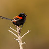 Red-backed Fairy-wren (Malurus melanocephalus)