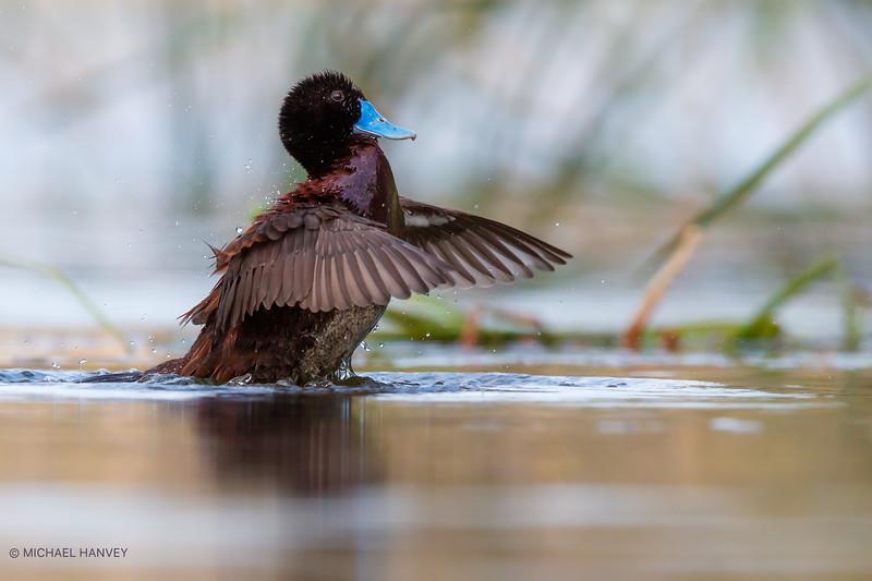 Blue-billed Duck (Oxyura australis)