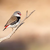 Diamond Firetail (Stagonopleura guttata)