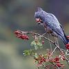 Female Gang-gang Cockatoo (Callocephalon fimbriatum)