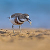 Double-banded Plover with Prawn