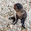 New Zealand Fur Seal Pup