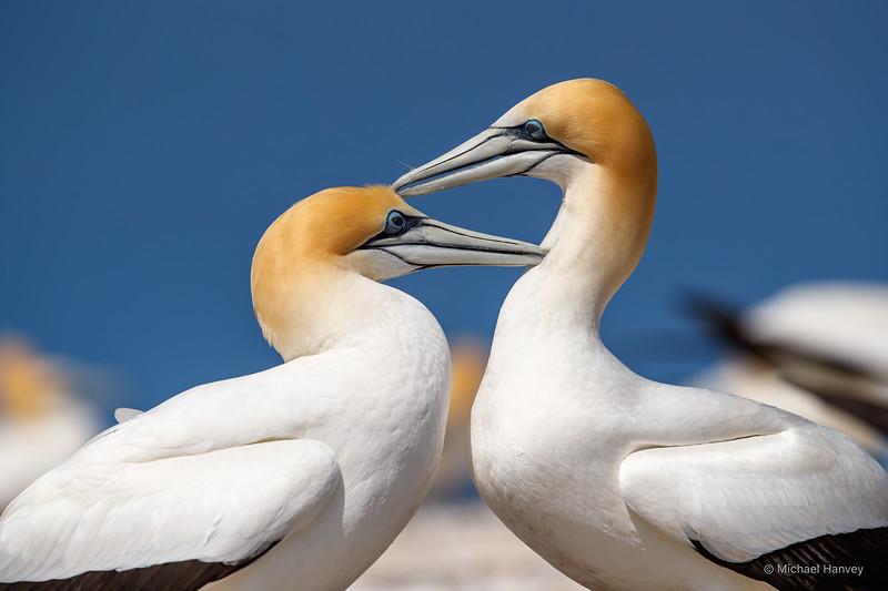 Australasian Gannets - Mutual Preening
