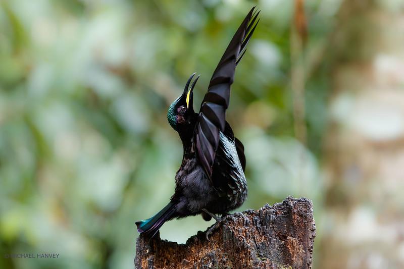 Victoria's Riflebird (Ptilotis victoriae)