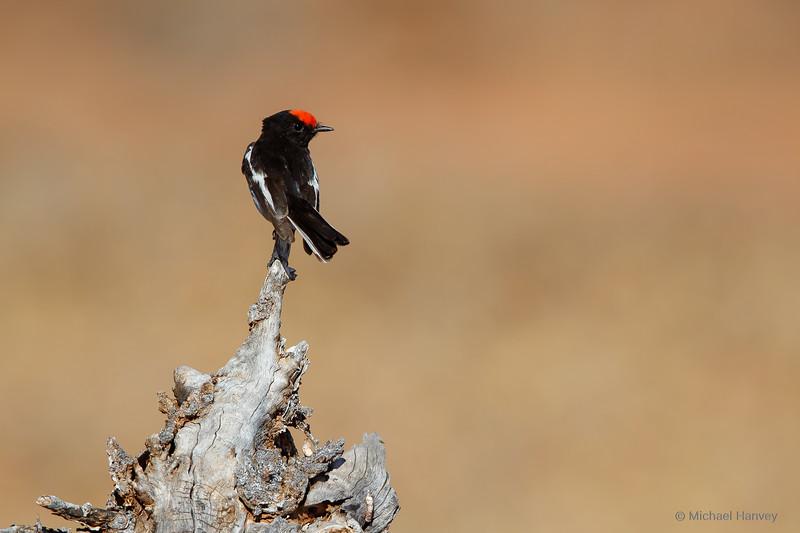 Red-capped Robin (Petroica goodenovii)