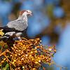 Topknot Pigeon (Lophlaimus antarcticus)