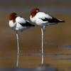 Red-necked Avocets (Recurvirostra novaehollandiae)