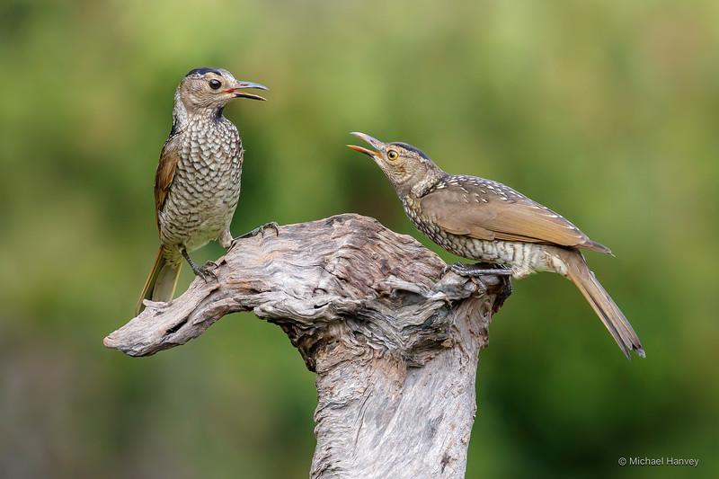 Regent Bowerbirds - Female (l); Immature (r)