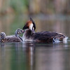 Great Crested Grebe and Chicks (Podiceps cristatus)