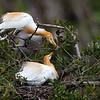 Cattle Egrets (Ardea ibis)