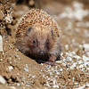 New Zealand Hedgehog (Erinaceus europaeus sap. occidentalis)