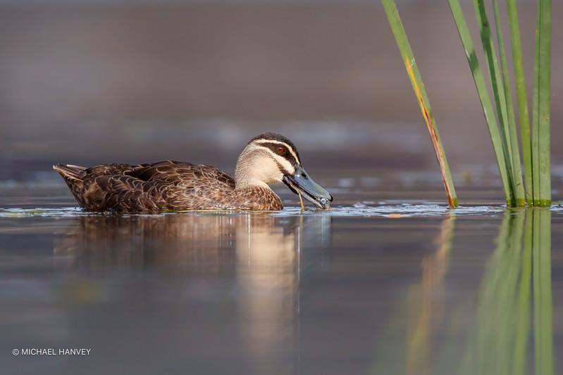 Pacific Black Duck (Anas superciliosa)