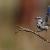Superb Fairy-wren in Moult