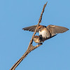 Fairy Martins (Petrochelidon ariel)