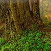 Foggy Redwood Dawn-NoCal_Jul242014_0305