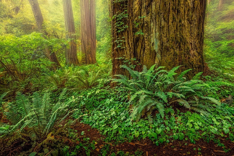 Foggy Redwood Sunrise-NoCal_Jul242014_0279