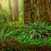 Foggy Redwood Sunrise-NoCal_Jul242014_0279