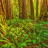 Stout Grove Redwoods Wide-NoCal_Jul232014_0866