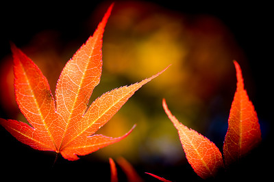 Sun-Kissed Japanese Maple