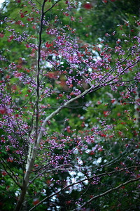 California Redbud Tree