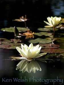 """Lilly Pad""  Cantigny Park  © Copyright Ken Welsh"