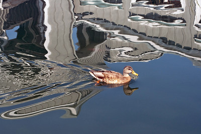 Duck and reflections at Pleasant Hill Civic Center