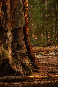Rugged Layers of Tree