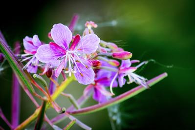 Fireweed Blossom
