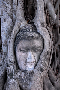 A Buddha's head embraced by tree roots at Wat Phra Mahathat, Ayuthaya, Thailand. Ayuthaya has many historic ruins of the ancient capitol of Thailand and site of an historic battle. In Burmese invasions many Buddha statues were beheaded en masse at the battle. This head remnant of a statue is entangled in Banyan roots and is a site of reverence.