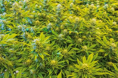 Reno Photographer Marcello Rostagni Photographs Cannabis plants in Grow Room.
