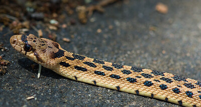 Gopher Snake  ( Pituophis catenifer)