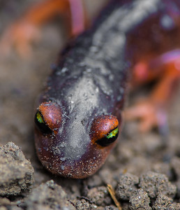 Yellow-eyed Ensatina (Ensatina eschscholtzii)