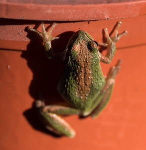 Tree Frog Changing Color