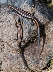 Pair of Skinks